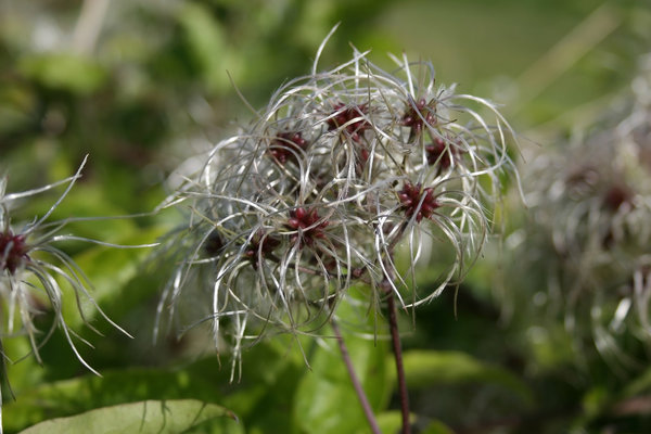 Seedheads: Seedheads of Travellers Joy (Clematis vitalba) growing wild on the South Downs, West Sussex, England.