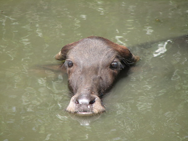 Water Buffalo Calf