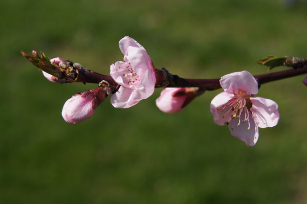 First spring peach flowers: blossoming twig of peach tree