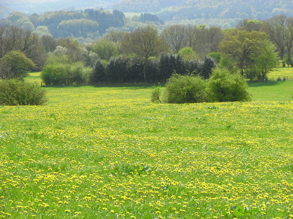 Field of buttercups: Field of buttercups in Derbyshire