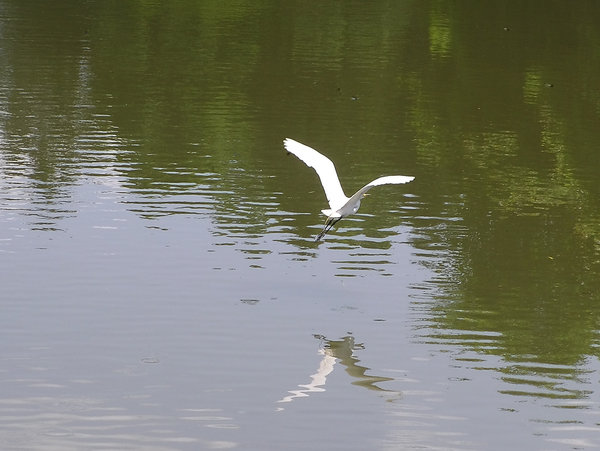 Crane flying over water: A white crane taking off over the pond.
