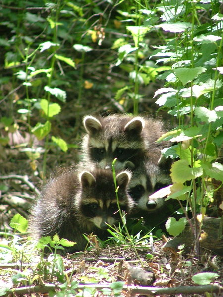 Baby Racoons 3