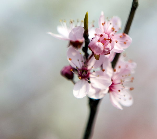 spring flowes: white and pink spring flowers apple tree
