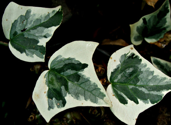 ivy creeper: variegated ivy leaves close-up