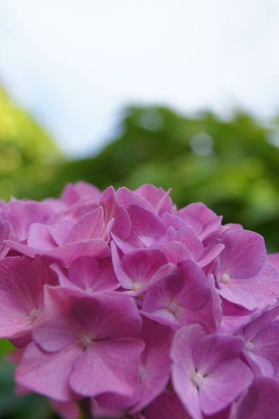 hydrangea: no description