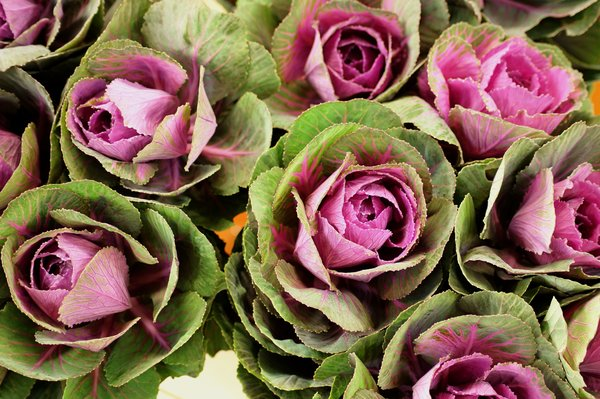 ornamental cabbages: ornamental cabbage used as a cut flower by floral designers