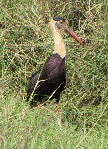 Woolly-necked Stork: no description