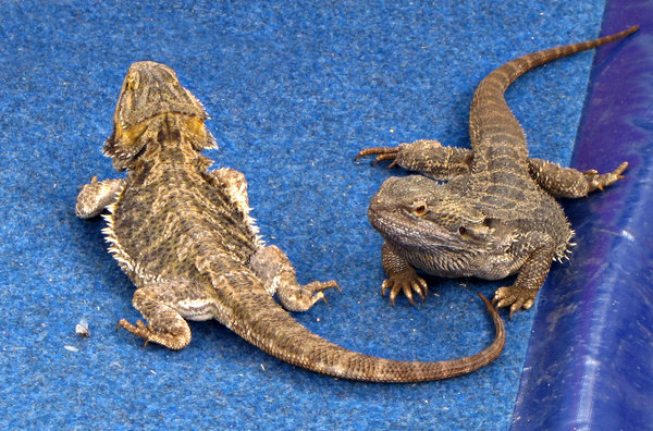 bearded dragons: A pair of Australian bearded dragon lizards