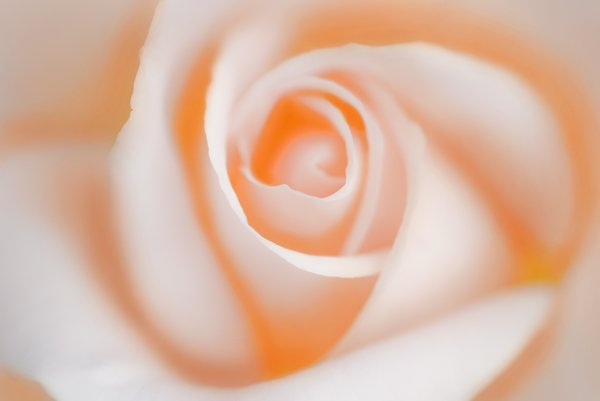 backlight pink rose: