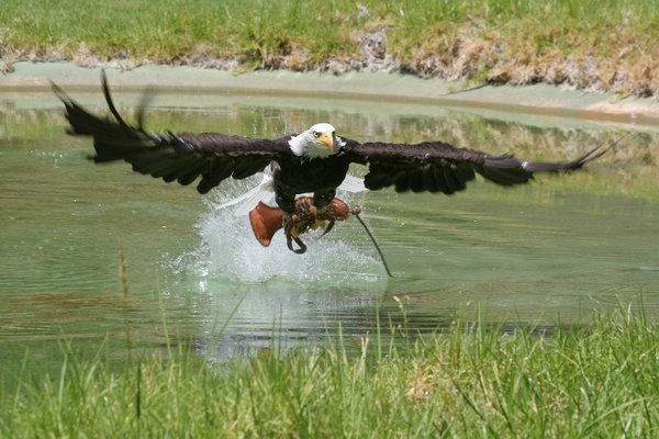 Bald-Headed Eagle: Bald-headed eagle capturing a lure from the water.
