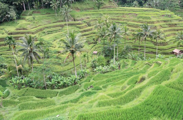 Rice Terrace: Beautiful rice terrace in Bali