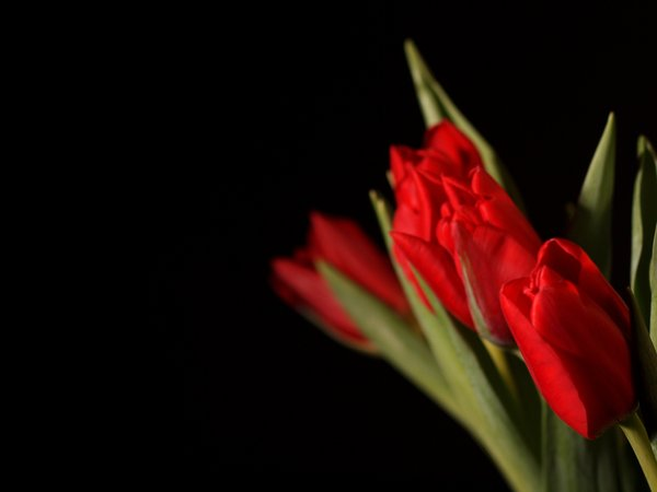 Red tulips: A bouquet of red tulips with black background