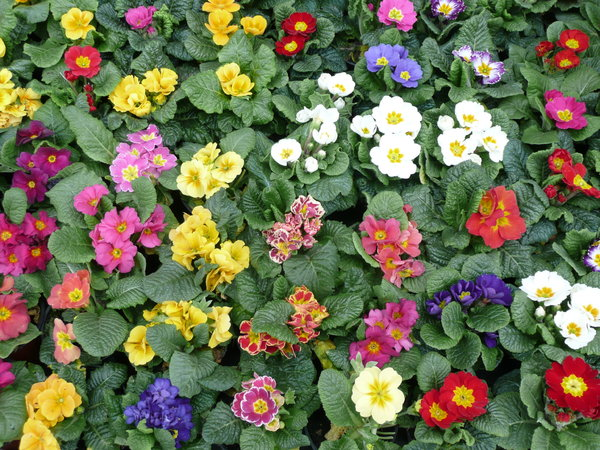 Colorful Primroses: Primroses in rows to sell.