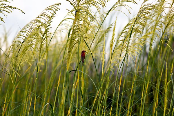Camoflaged: Red bird amongst green sea oats. Taken near mexico Beach, Fl.