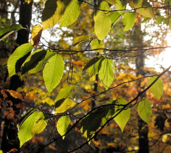 beech leafs in sunlight