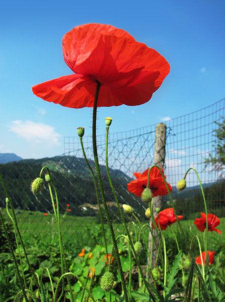 Poppy garden: worm's-eye view of poppies in summery garden