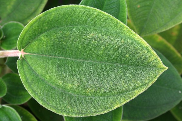 Textured leaf: Textured hairy leaf of a glory bush (Tibouchina) growing in a garden in Madeira.
