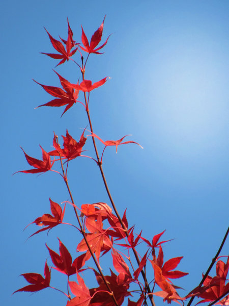 red leaves:
