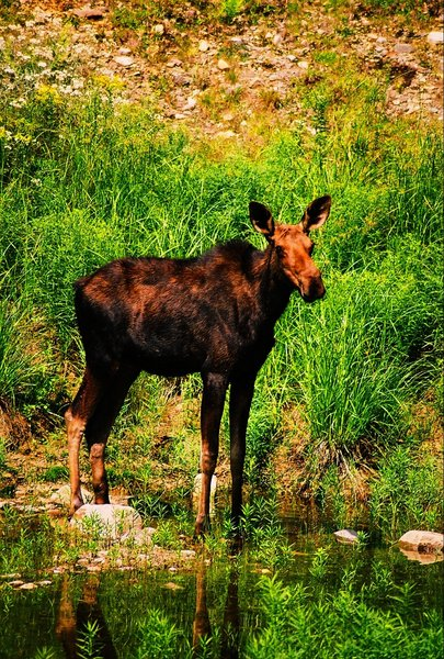 Moose at a water hole 2