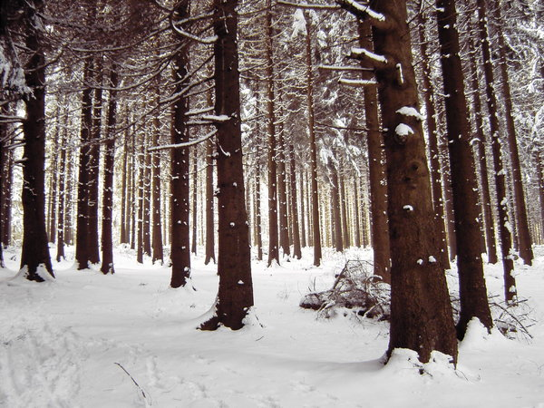 winter forest: winter forest