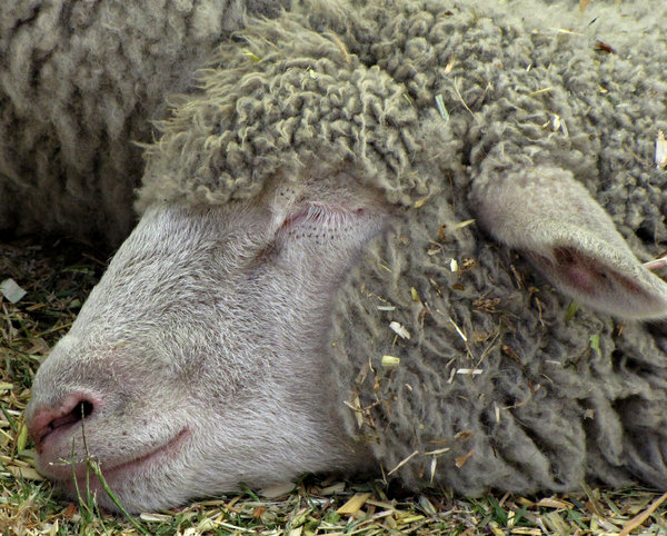 sound asleep: a sheep lying down and sound asleep in pen with other animals
