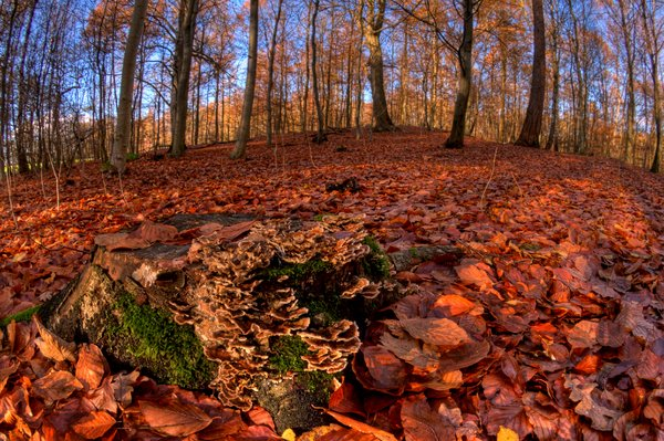 Stump with fungus - HDR: A tree stump with fungus in an autumn colored forest. Fisheye lens used. The picture is HDR.