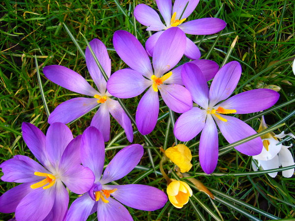 Spring Garden 5: A beautiful sunny day, bringing all the crocuses in my garden to life.