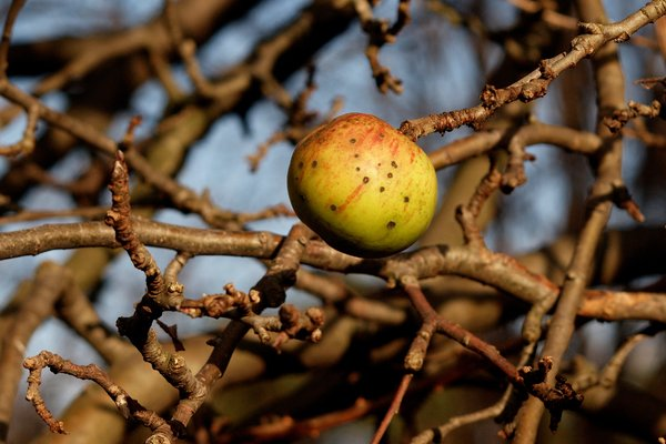 Autumn Apple on branch: Apple left on branch in autumn