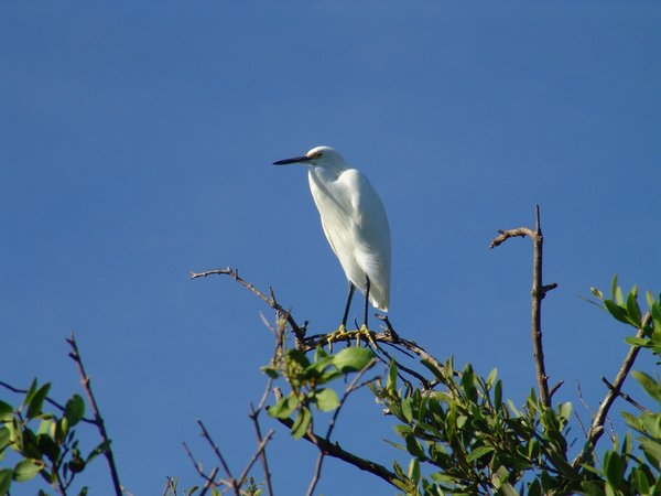 White Crane in the Keys: Photo of White Crane in the Florida Keys Mangrove early morning.