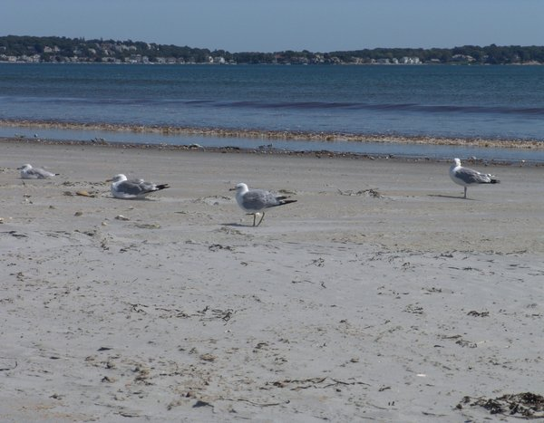 Breakfast on the beach: Seagulls enjoying the morning on the beach with washed up clams, making an easy breakfast. Photo taken on Long Beach, Nahant, Massachusetts with the city of Lynn in the distance.