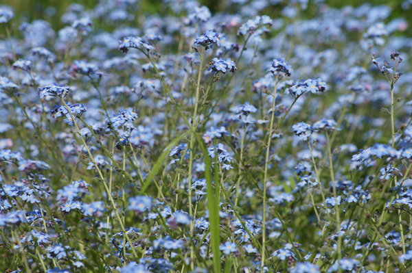 forget-me-not: no description