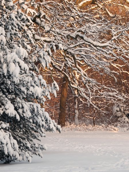 Snowy forest: Forest scene with threes and snow.