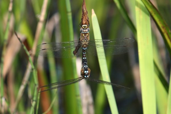 Pair of dragonflies: A mating pair of dragonflies on the margin of a pond.