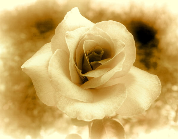 Sepia Rose 3: Rose edited in sepia colours. An old fashioned, Victorian effect.