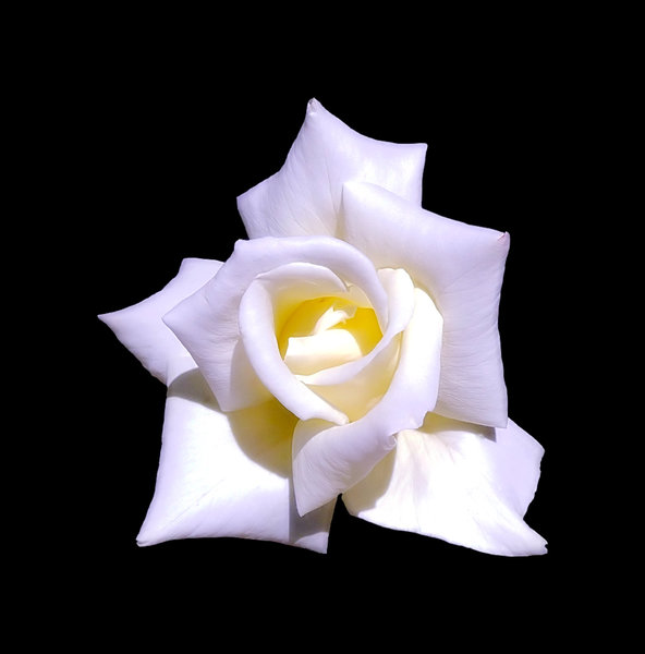 White Rose on Black: A beautiful white rose isolated on a black background. Easy to add copyspace.
