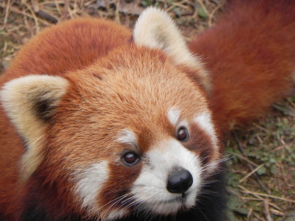 red panda: Chengdu Panda Base