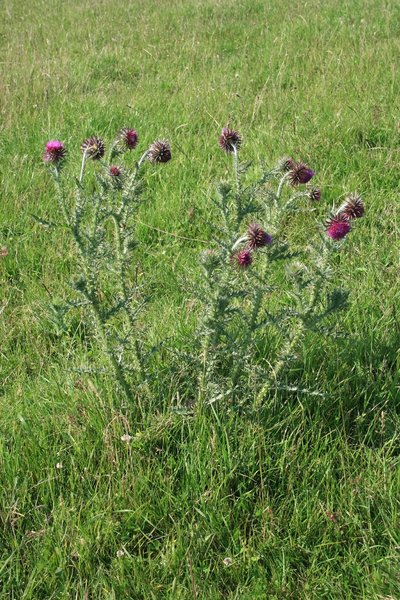 Thistle: A wild thistle (Carduus) growing on the South Downs, West Sussex, England.