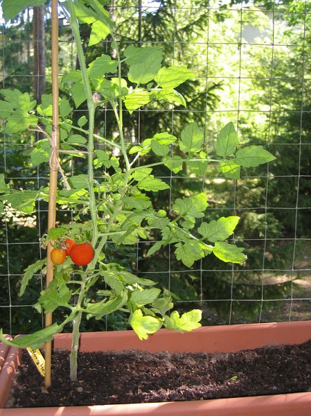 balcony tomatoes 2: It is a nice hobby to grow your own balcony tomatoes...