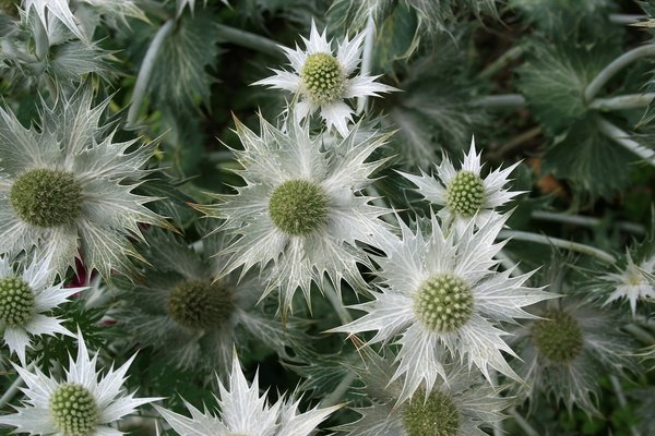 Silver spines: A silver grey cultivar of sea holly (Eryngium) in a garden in West Sussex, England.
