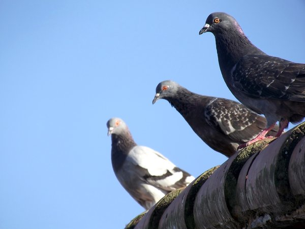 Pigeons: Pigeons on the roof