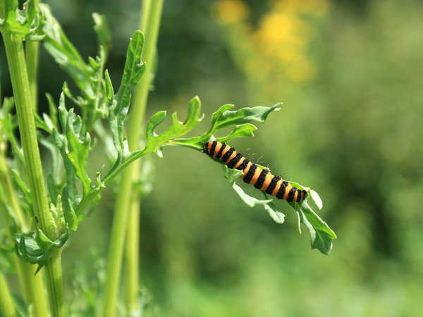 Striped caterpillar