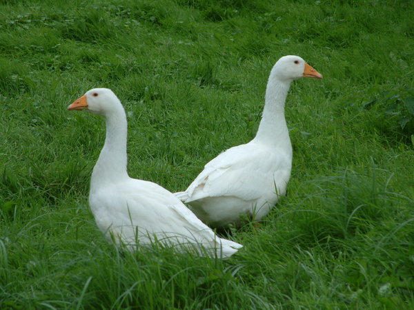 Two Geese: Two geese on a plain, watching me