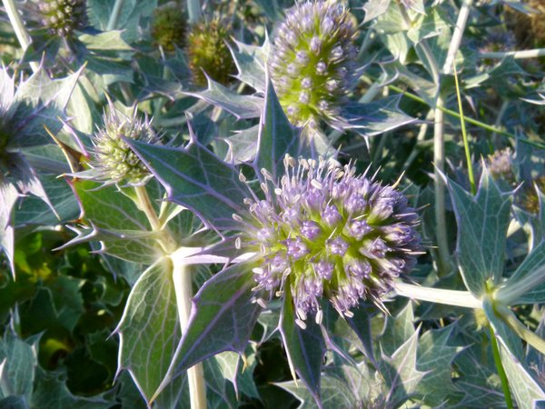 Sea Holly (Wangerooge Beach(