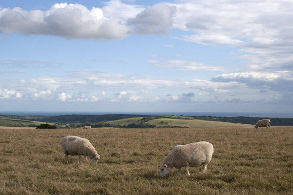 Sheep and clouds: Sheep grazing on the South Downs, West Sussex, England.