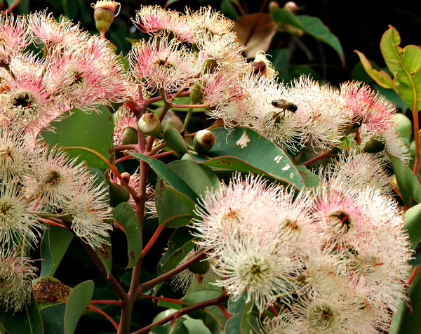 pink gum tree blossoms