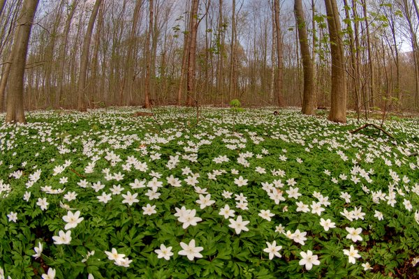 Anemones - HDR: Anemones in the forest bed. The picture is HDR