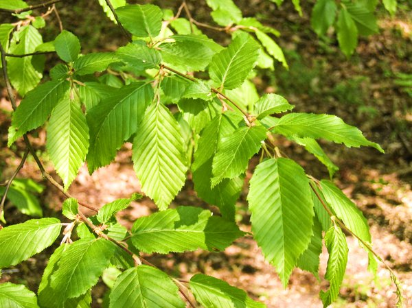 young beech leaves at spring