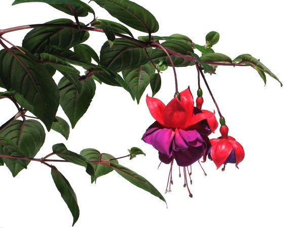 red fuchsias: