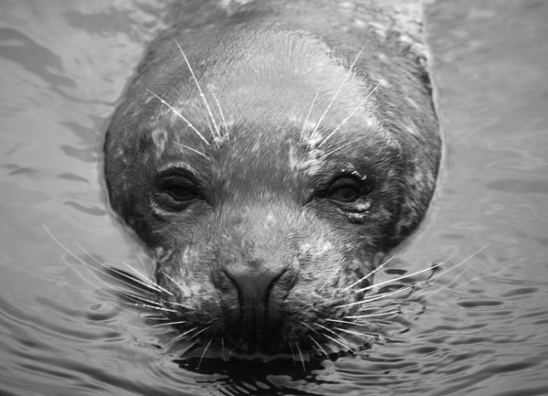 Seal in Black & White