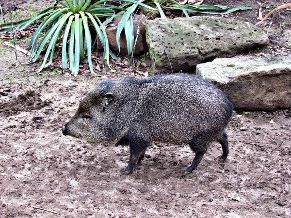 pig-like peccaries